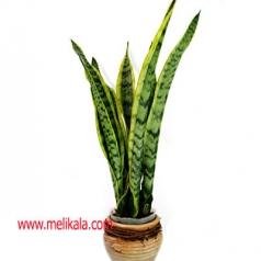 گیاه سانسیویریا تریفاسکیاتا از  گیاهان چندساله همیشه سبز