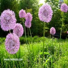گیاه والک بلند  از گونههای سردهٔ والک