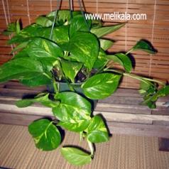 گیاه پوتوس از خانواده گلشیپوریان