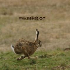 مشخصات ظاهری خرگوش غربی