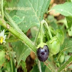 خصوصیات گیاهشناسی تاجریزی سیاه