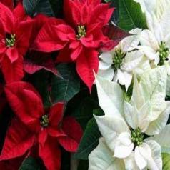 بنت قنسول گیاهی با رنگ های متغییر و خیره کننده