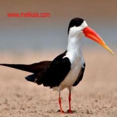 پرنده آب  پرنده ای محافظتی