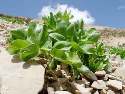 گیاه دارویی کرفس کوهی