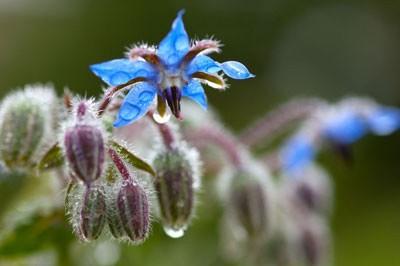 گیاه دارویی گل گاوزبان